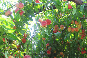 Peach tree fruit picking